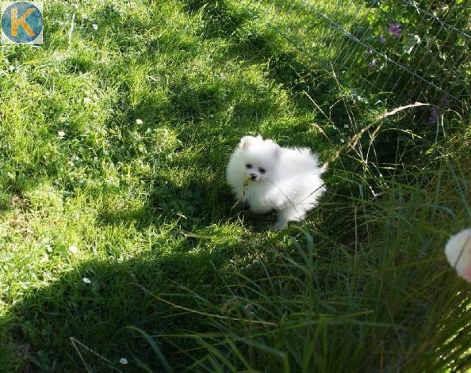 Animaux 5 Adorable Chiot Spitz Allemand Nain Pure Race A Adopter Valais Kirikoo Ch