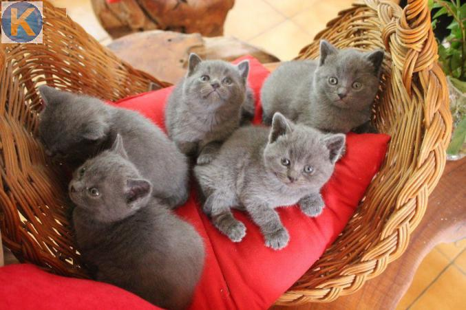 Animaux 5 Chatons Type Chartreux Pure Race A Adopter Valais Kirikoo Ch